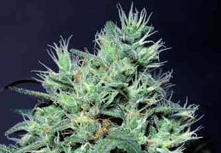 Dutch Dragon Paradise Seeds
