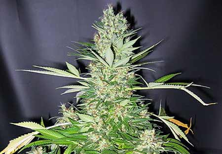 Masterkush Skunk Mr Nice Seedbank bei Samenwahl