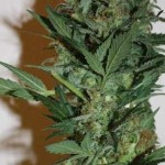 White Zone von Mallorca Seeds