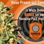 Promotion Kannabia – White Domina