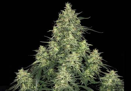 Atomical Haze Paradise Seeds