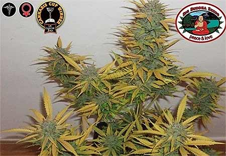 Chesse Big Buddha Seeds