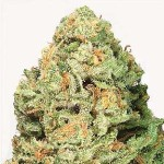 Fruit Punch von Heavy Weight Seeds