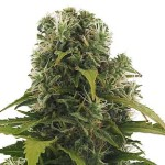 High Density von Heavyweight Seeds